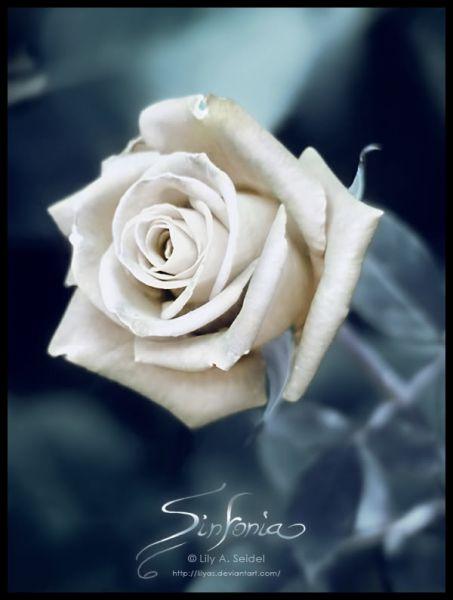 rosesin.jpg